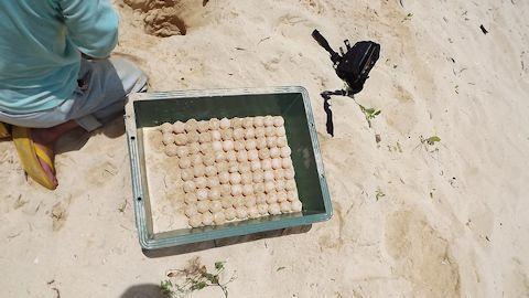海がめの卵.jpg