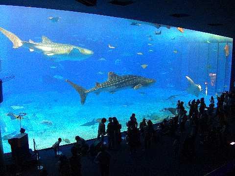 美ら海水族館 黒潮の海 ジンベイ2匹.jpg