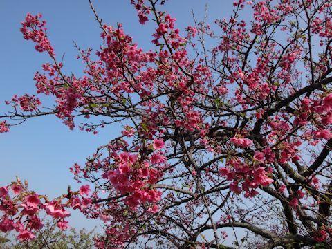 沖縄 桜と青空.jpg