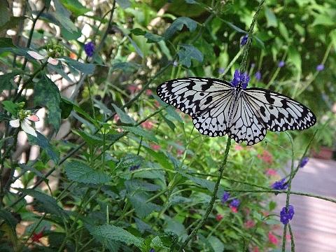 蝶々園 オオゴマダラ.jpg